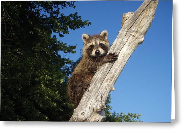 Unusual Raccoon Greeting Cards - Orphaned Raccoon Greeting Card by James Peterson