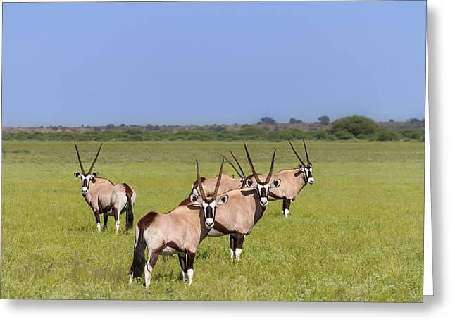 Gemsbok (oryx Gazella) Greeting Cards - Oryx Field of Wishbones Greeting Card by Sylvia J Zarco