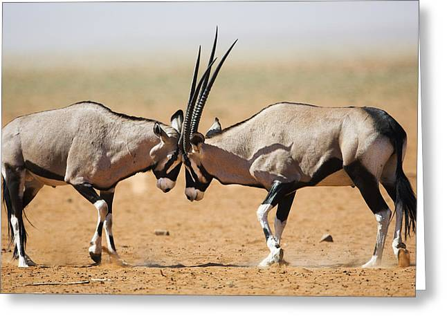 Oryx Males Fighting Namibrand Nature Greeting Card by Theo Allofs