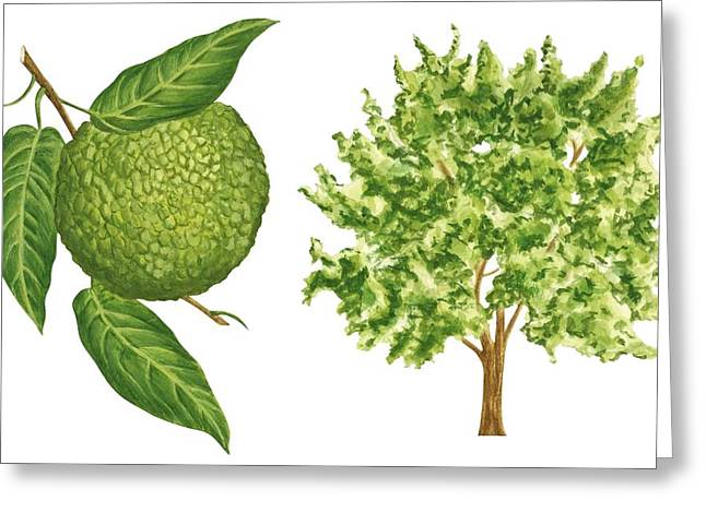 White Background Drawings Greeting Cards - Osage orange tree Greeting Card by Anonymous