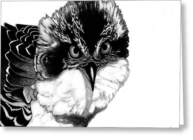 Osprey Drawings Greeting Cards - Oscar Osprey  Greeting Card by Jane Pietrofitta