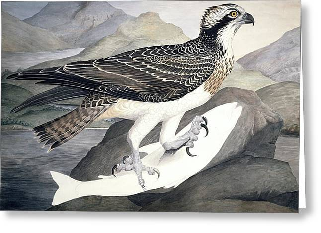 Drawing Of Eagle Greeting Cards - Osprey, 19th century Greeting Card by Science Photo Library