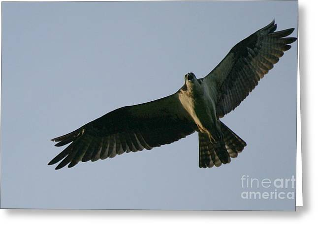 Beauty In Nature Greeting Cards - Osprey above the Androscoggin Greeting Card by Neal  Eslinger
