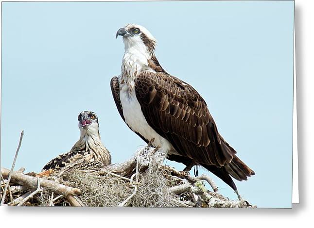 Osprey And Chick Greeting Card by Bob Gibbons