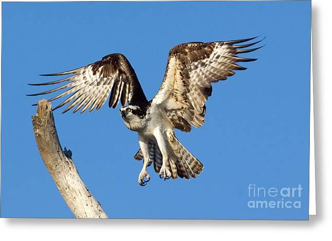 Osprey Photographs Greeting Cards - Osprey Greeting Card by Anthony Mercieca