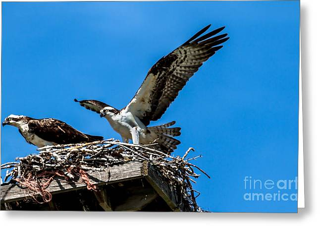 Sea Platform Greeting Cards - Osprey Arriving Home Greeting Card by Robert Bales