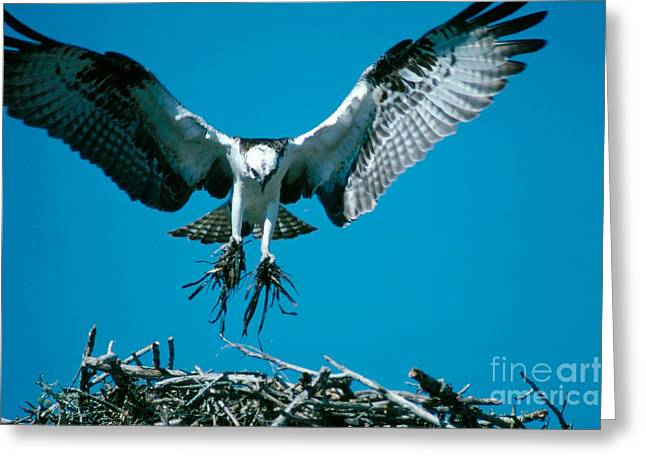 Birds In A Nest Greeting Cards - Osprey Building Nest Greeting Card by Art Wolfe