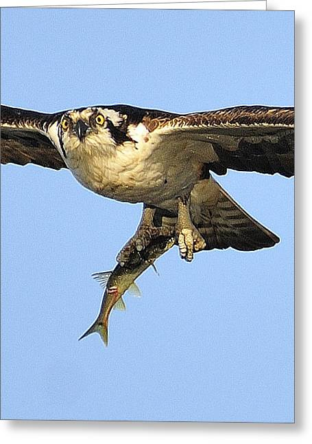Osprey Pyrography Greeting Cards - Osprey carrying a fish  Greeting Card by Hella Zaiser