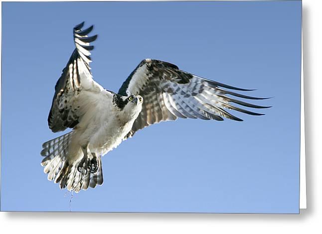 Barbara Smith Greeting Cards - Osprey Carrying Twig Greeting Card by Barbara Smith