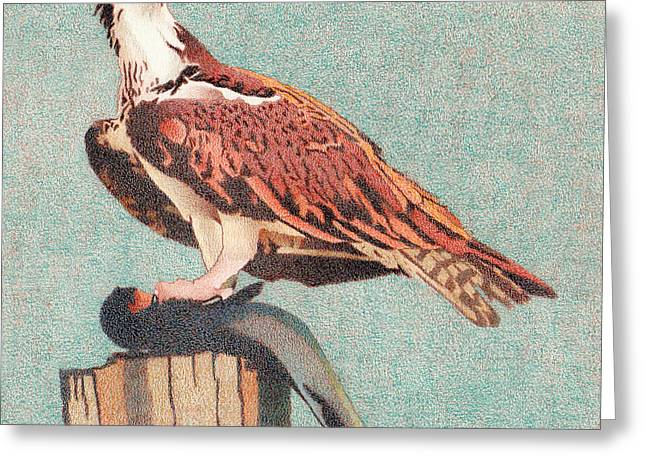 Osprey Drawings Greeting Cards - Osprey Greeting Card by Dan Miller