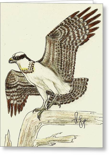 Osprey Drawings Greeting Cards - OSPREY Drawing Greeting Card by VLee Watson