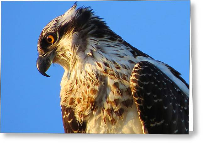 East Dennis Greeting Cards - Osprey - Eager Youth Greeting Card by Dianne Cowen