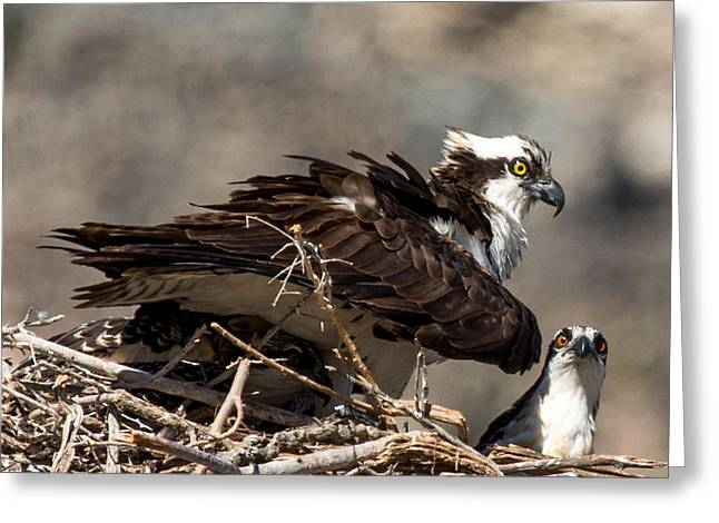 Osprey Family Huddle Greeting Card by John Daly