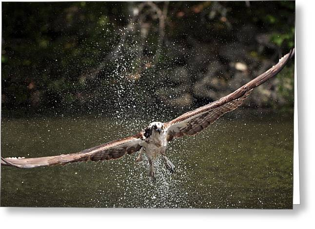 Osprey Fishing the Nequasset River Greeting Card by Allen Ponziani