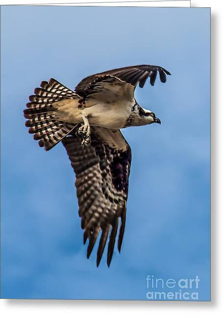 North Sea Greeting Cards - Osprey Flying Away Greeting Card by Robert Bales