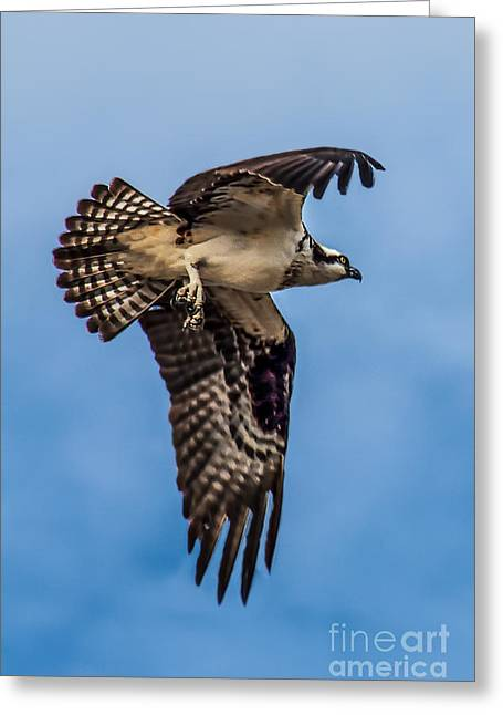 Haybale Photographs Greeting Cards - Osprey Flying Away Greeting Card by Robert Bales
