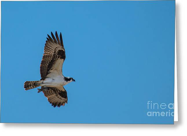 Migratory Bird Greeting Cards - Osprey flying Home With Dinner Greeting Card by Robert Bales