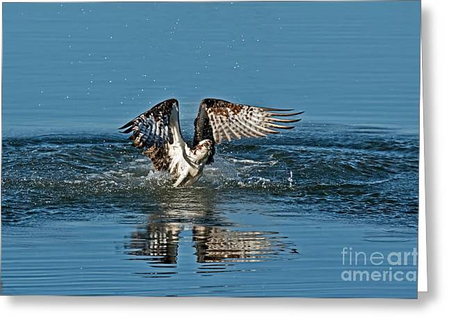 North Sea Greeting Cards - Osprey Getting Out Of The Water Greeting Card by Anthony Mercieca