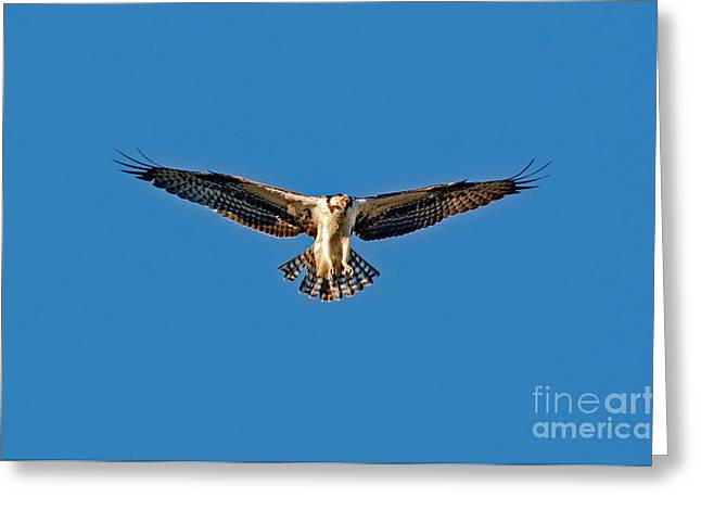 Hovering Greeting Cards - Osprey Hovering Greeting Card by Anthony Mercieca