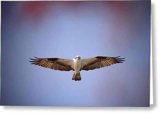 Babylon Village Greeting Cards - Osprey Hovering Greeting Card by Vicki Jauron