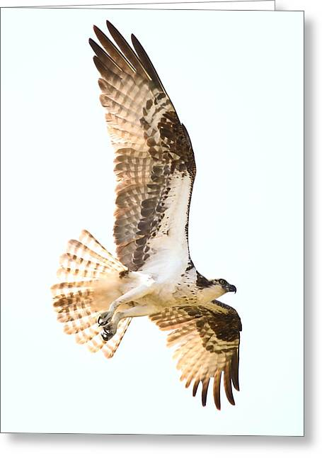 Soaring Falcon Greeting Cards - Osprey In Flight Greeting Card by Athena Mckinzie