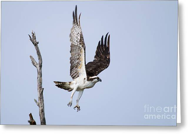 Flying Bird Pyrography Greeting Cards - Osprey in flight Greeting Card by Michael Bennett