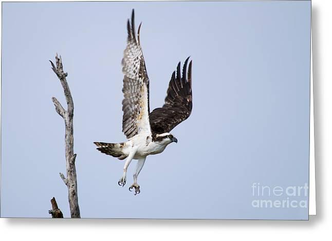 Hunting Bird Pyrography Greeting Cards - Osprey in flight Greeting Card by Michael Bennett