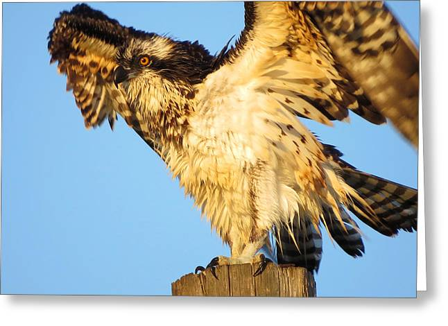 East Dennis Ma Greeting Cards - Osprey in Summer Greeting Card by Dianne Cowen