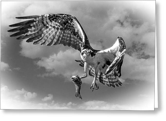 Killer B Greeting Cards - Osprey In The Clouds BLACK AND WHITE D7774 Greeting Card by Wes and Dotty Weber