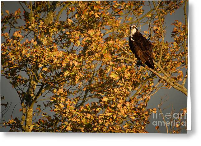Osprey Photographs Greeting Cards - Osprey In The Fall Greeting Card by Heidi Piccerelli