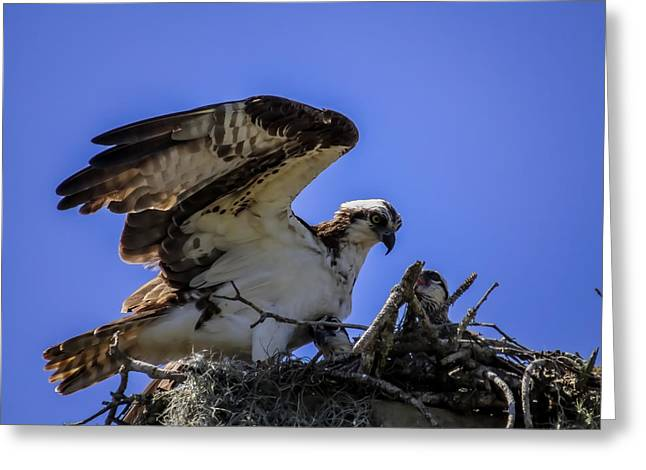 Eagle Greeting Cards - Osprey in the nest Greeting Card by Zina Stromberg