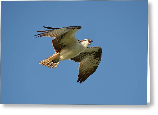 Soaring Falcon Greeting Cards - Osprey Greeting Card by James Petersen