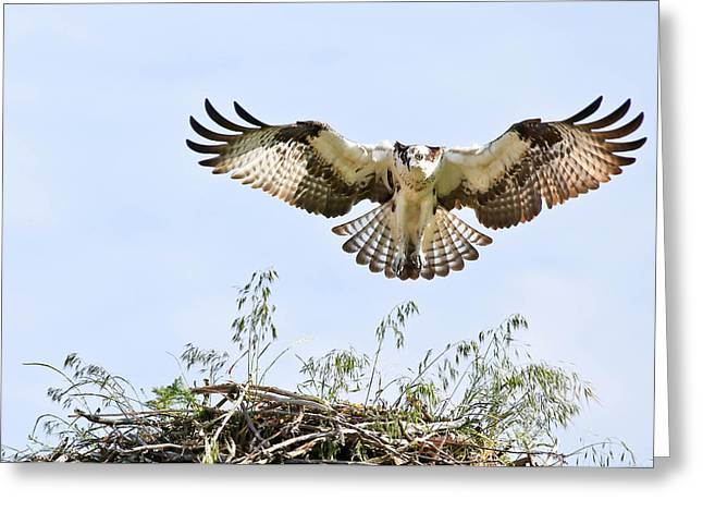 Soaring Falcon Greeting Cards - Osprey Landing Gear Greeting Card by Athena Mckinzie