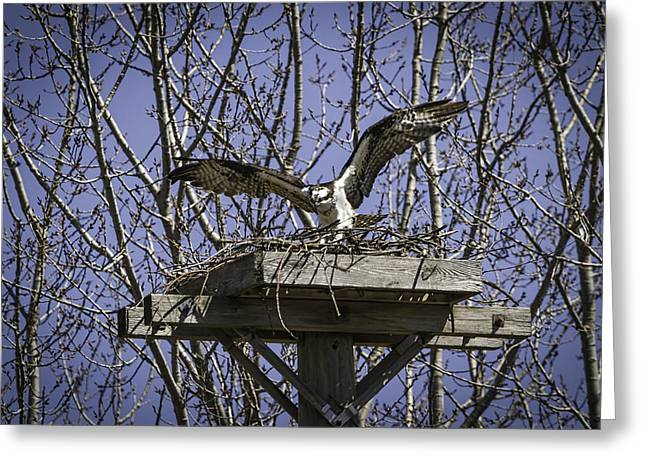 Osprey Photographs Greeting Cards - Osprey Landing In The Nest Greeting Card by Thomas Young