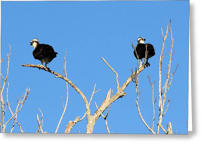 Divorce Greeting Cards - Osprey Lovers Spat Greeting Card by Suzie Banks