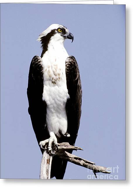 Osprey Photographs Greeting Cards - Osprey Greeting Card by Millard H. Sharp