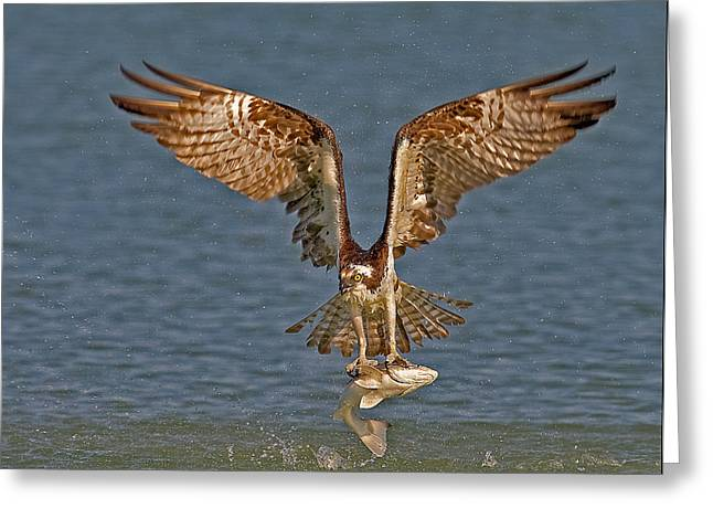 Decorative Fish Greeting Cards - Osprey Morning Catch Greeting Card by Susan Candelario