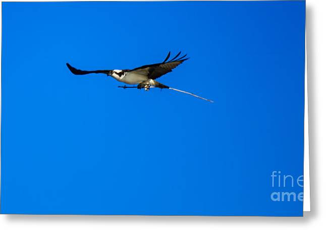 Migratory Bird Greeting Cards - Osprey Nest Building Greeting Card by Robert Bales