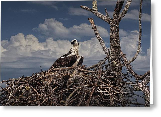 Majestic Falcon Greeting Cards - Osprey on a nest Greeting Card by Randall Nyhof