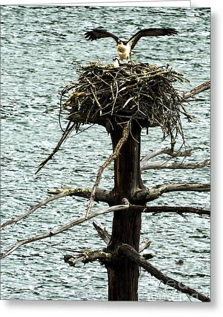 Stonewall Greeting Cards - Osprey Pair Nesting Greeting Card by Thomas R Fletcher