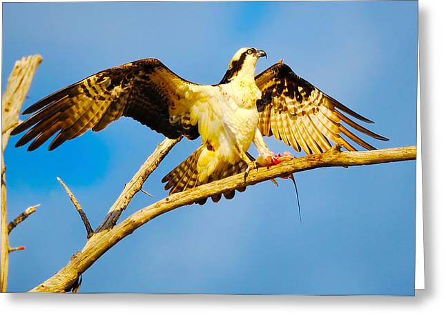 Zoology Greeting Cards - Osprey Pandion Haliaetus With Spread Greeting Card by Panoramic Images