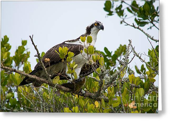 Osprey Pyrography Greeting Cards - Osprey perched with a fish Greeting Card by Michael Bennett