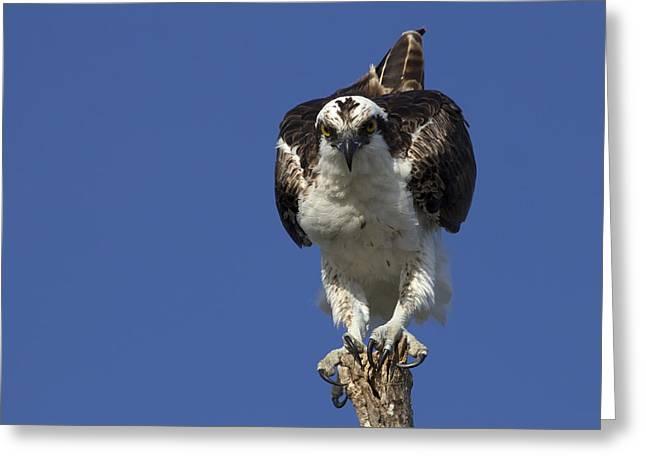 Print Photographs Greeting Cards - Osprey Photo Greeting Card by Meg Rousher