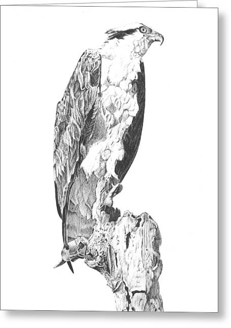 Osprey Drawings Greeting Cards - Osprey Greeting Card by Reppard Powers