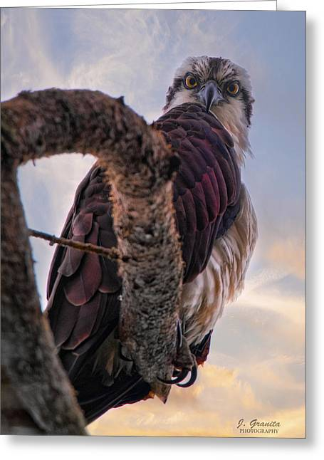 Osprey Photographs Greeting Cards - Osprey Sitting In Tree Greeting Card by Joe Granita