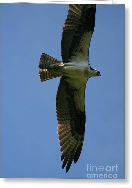 Androscoggin Greeting Cards - Osprey Summer Flight on the Androscoggin  Greeting Card by Neal  Eslinger