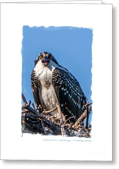 Announcement Greeting Cards - Osprey Surprise Party Card Greeting Card by Edward Fielding