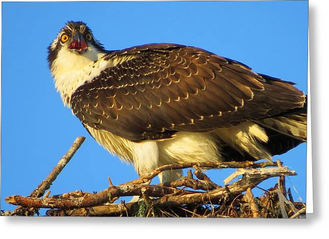 East Dennis Ma Greeting Cards - Osprey Survivor Greeting Card by Dianne Cowen