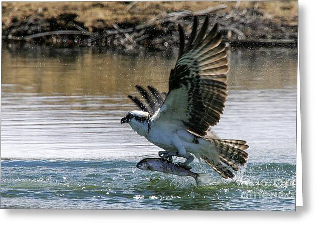 Hunting Bird Greeting Cards - Osprey With Fish Greeting Card by Webb Canepa