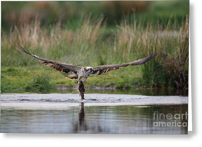British Fauna Greeting Cards - Osprey With Trout Greeting Card by Thomas Hanahoe